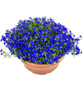 6000 Sementes De Lobélia Azul