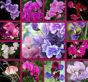12 Sementes Da Flor Ervilha De Cheiro