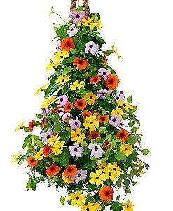 Tumbergia multicolorida