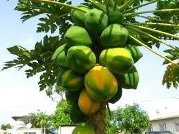 100 Sementes De Mamão Papaia Gigante