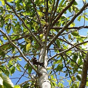 Sementes de Saguaraji Isla