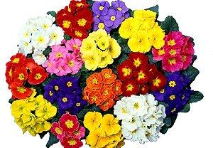 60 Sementes de Primula Elatior Sortida