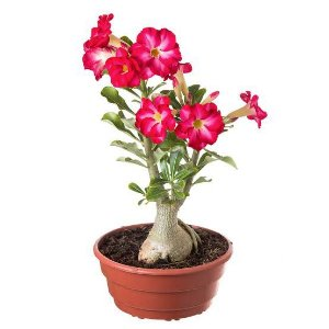200 Sementes de Rosa do Deserto