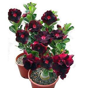 100 Sementes De Rosa Do Deserto Adenium Obesum Sortidas