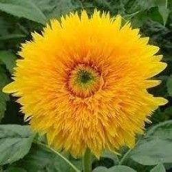 Sementes de Girassol de Jardim Dobrado Amarelo Anão