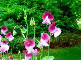 Sementes de Ervilha de Cheiro