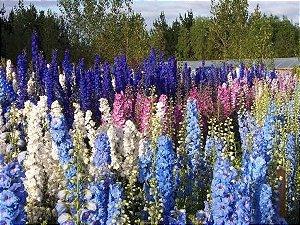 Sementes de Esporinha de Jardim Dobrada Sortida