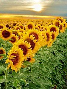 Sementes de Girassol Amarelo...para jardins