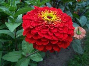 Sementes de Zinnia Dobrada Dahliaflora Vermelha