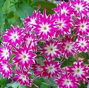 Sementes de Phlox Twinkles Estrelado Sortido
