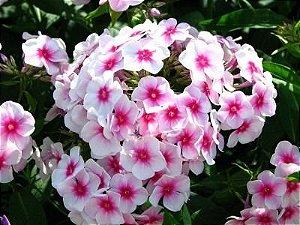 Sementes de Phlox Drumondi Grandiflora Sortido
