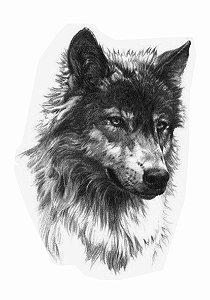 PB023 Lobo