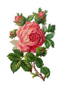 C048 Rosa