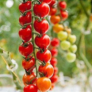 Semente de Tomate DRC 564 - Seminis (1MX)