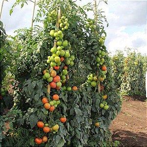 Sementes de tomate Coronel (1MX) Seminis