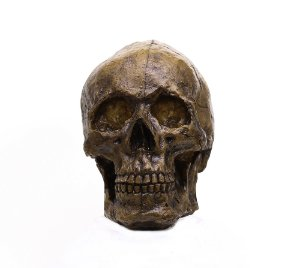 Caveira Crânio Realista em fibra de vidro decorativo