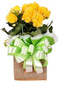 Vaso Plantado Begônia e carinho