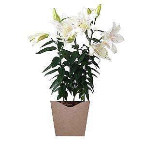 Lírio Branco Plantado no Cachepot para Presente
