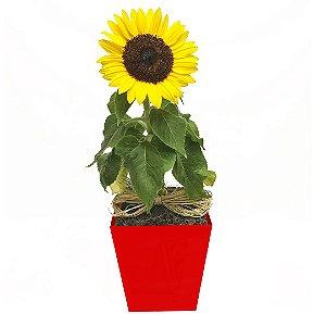 Girassol Plantado no Cachepot Para Presente