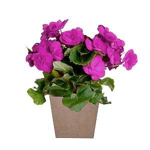 Begônia Pink Plantada no Cachepot para Presente.