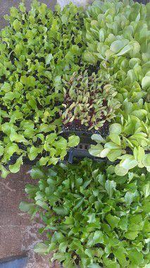 Mudas de Hortaliças Unidade - Agro Top