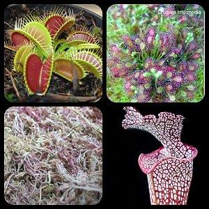 Kit Sementes de Plantas Carnívoras Variadas + Brindes (50 gr musgo sphagnum)