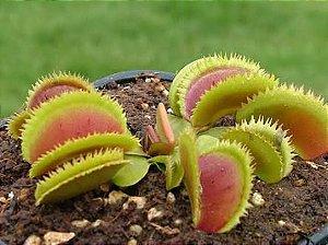 Planta Carnívora Dionaea muscipula Bristle Tooth