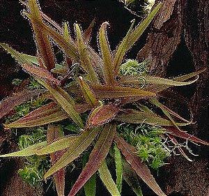 Planta Carnívora Drosera adelae