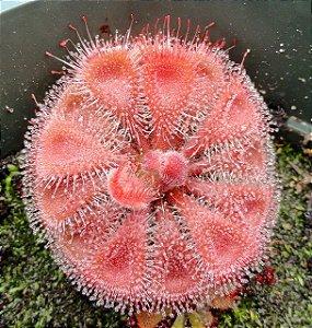 Sementes de Planta Carnívora Drosera burmannii Red