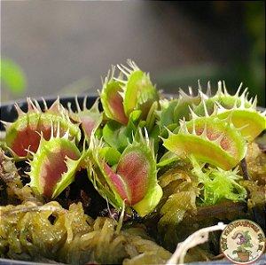 Planta Carnívora Dionaea muscipula Fused Tooth