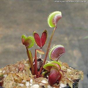 Planta Carnívora Dionaea muscipula Red Shark