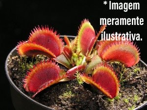 Planta Carnívora Dionaea Bohemian Garnet