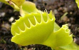 Dionaea muscipula 'Double Trouble'