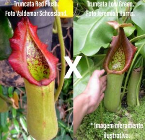 Nepenthes Truncata Red Flush x Low Green