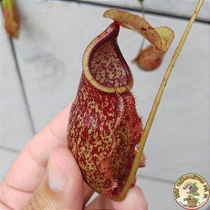 Planta Carnívora Nepenthes (Viking x Hookeriana) x Splendiana