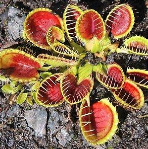 Planta Carnívora Dionaea Muscipula Cup Trap