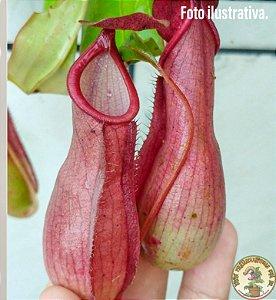 Planta Carnívora Nepenthes (Viking x Hookeriana) x Graciliflora Variação 2