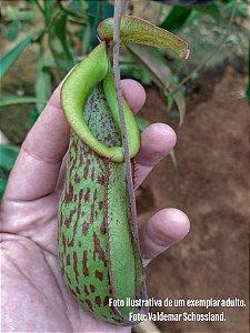 Planta Carnívora Nepenthes Athua