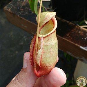 Planta Carnívora Nepenthes [(Viking x Hookeriana) x Mixta] x (Hirsuta x Konack)