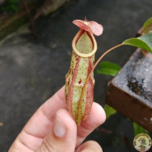 Planta Carnívora Nepenthes Mirabillis Dark Red x (Raflesiana Kondo x Raflesiana White)