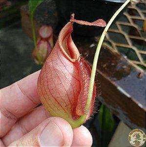 Planta Carnívora Nepenthes [(Mirabillis x Viking) x Kuching] x (Lady Pauline x Splendiana)
