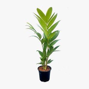 Palmeira Pinanga Coronata