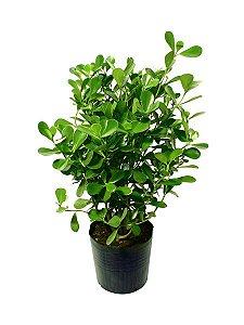 Clúsia Verde - 0,40 a 0,60 cm