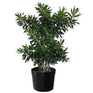 Pleomele Verde - 40 a 70 cm