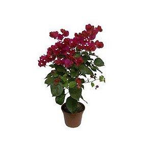 Bouganville - Lilás, Branca ou Rosa Pink