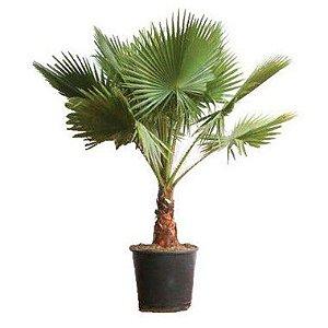 Palmeira da Califórnia ou Palmeira de Saia