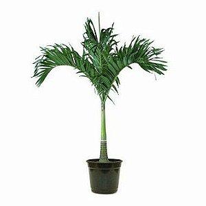 Palmeira Veitchia - 1,50 metros