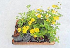 Lantana Amarela - Caixa com 15 unidades