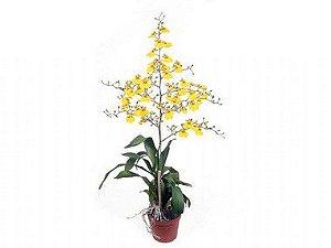 Orquídea Oncidium Aloha - Amarela