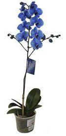 Orquídea Phalaenopsis - Azul